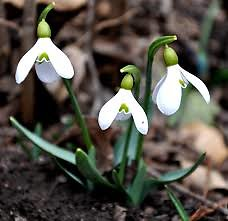 About Counselling. Snowdrop