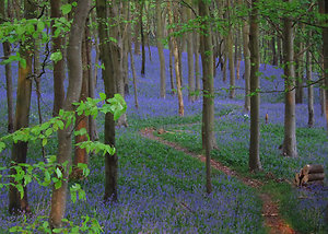 Home. Bluebells