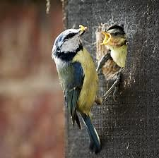 Home. bluetit