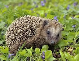 Home. hedgehog
